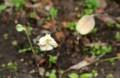 種子を撒き散らした、片栗の果実。(28.5.27)
