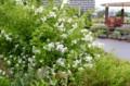 ガーデンのシンボル・「ノイバラ(野茨)」の白い花。(28.5.30)