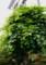 長野県ゆかりの「シナノキ(科木)」(28.6.5)