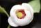 マグノリア、「オオヤマレンゲ(大山連華)」の花。(28.6.4)