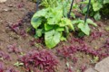 昨年のこぼれ種子、「ハゲイトウ(葉鶏頭)」の芽生え。(28.6.6)