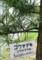 我が家の、樹齢20年以上の「コウヤマキ(高野槇)」(28.6.6)