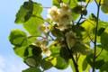 「キウイフルーツ」の開花。(28.6.8)