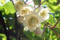 キウイフルーツの雌花。(28.6.8)