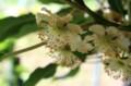 キウイフルーツの雄花。(28.6.8)