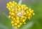 「ハハコグサ(母子草)」の花。(28.6.10)