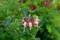 「ハニーサックル・セロチナ」の花。(28.6.11)