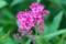 鮮明な「赤花下野」の花。(28.6.12)