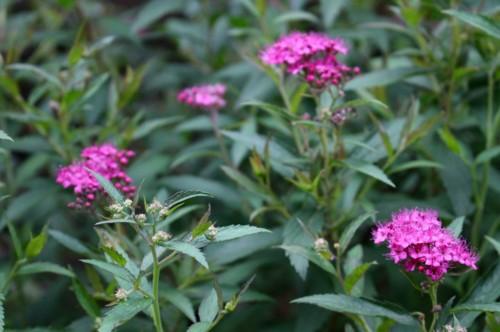 咲き始めた、鮮明な「赤花下野」の花。(28.6.12)
