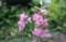 ピンク色のデルフィニウムが…。(28.6.12)