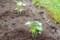 植え付けた「島オクラ]。(28.6.13)