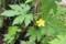 グリーンカーテンの「ゴーヤ」に、雄花が…。(28.6.14)