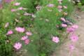 早くも咲き出した、「佐久市の花・コスモス」(28.6.19)