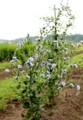レタスの仲間の「青い花」。(28.6.22)