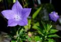 「キキョウ(桔梗)」の花と蕾。(28.6.26)