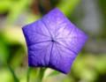 五角形の「桔梗の蕾」(28.6.26)