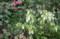 白花の「ホタルブクロ(蛍袋)」も咲いて.(28.6.26)