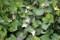 白花の「ホタルブクロ(蛍袋)」も咲いて…。(28.6.26)