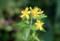 朝日に輝く、「オトギリソウ(弟切草)」の花。(28.6.27)