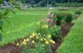 「オオマツヨイグサ(大待宵草)」の黄色の花、存在感…。(28.7.3)
