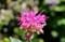 「モナルダ・ベルガモット」の花。(28.7.7)