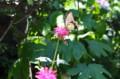 モナルダ・ベルガモットの花に、「キアゲハ(黄揚羽)」が…。(28.7.7)