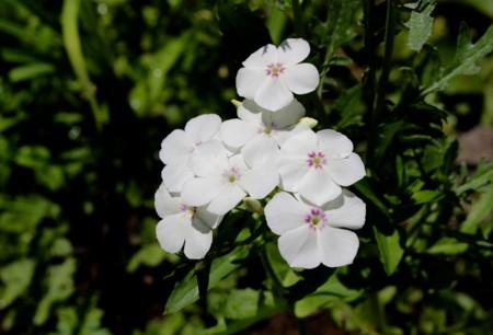 涼しさを覚える、白色の「フロックス」の花。(28.7.7.)