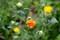 咲き始めた「ベニバナ(紅花)」の花。(28.7.8)