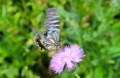ストケシアの花に飛来した「キアゲハ(黄揚羽)」。(28.7.10