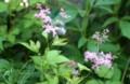 移植した「シモツケソウ(下野草)」の花。(28.7.10)