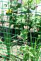 ネットにからまり、可愛い花をつける野草。(28.7.11)
