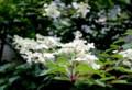 「ノリウツギ(糊空木)」の花でしょうか。(28.7.14)