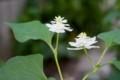 「八重咲きドクダミ」の花。(28..7.14)