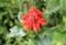 赤く変色した「ベニバナ(紅花)」の花びら。(28.7.15)