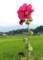 最上部で咲く、「タチアオイ(立葵)」の花。(28.7.17)