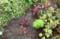 「ハゲイトウ(葉鶏頭)」の定植。(賢治ガーデン)(28.7.17)