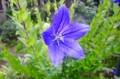 秋の風情、「キキョウ(桔梗)」の花。(28.7.23)