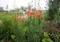 懐かしい、代表的な「盆花」、「オニユリ(鬼百合)」。(28.7.25)