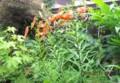 代表的な「盆花」の「オニユリ(鬼百合)」が咲く。(28.7.27)