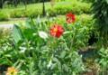 ダリア園に、背の高い赤色花が…。(28.7.27)