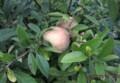 「ボケ(木瓜)」の実は、「リンゴ(林檎)」のよう…。(28.7.29)