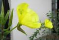 花びらで一休み、「クサカゲロウ(草蜉蝣)」(28.7.30)