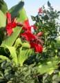 「赤色のカンナ」が咲き始め、インパクトが増した、ダリア花壇。(28.7.