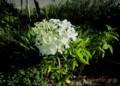 「ノリウツギ(糊空木)・ライムライト」の白い花。(28.7.31)