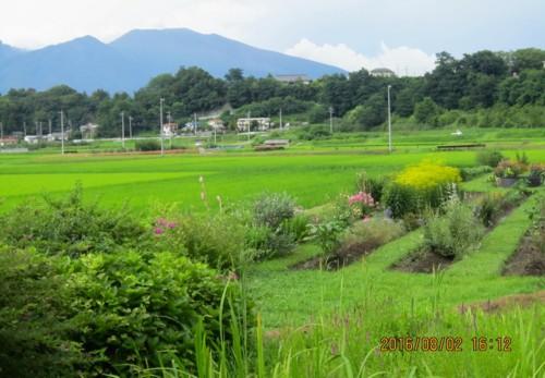 大雨後の、「景観保全作物水田」。(28.8.2)
