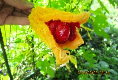 ゴーヤの実が完熟、中からゼリー状お物が…。(28.8.3)