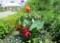 夏の日が照りつける、「賢治ガーデン・ダリア園」(28.8.4)