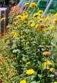 裏道わき花壇に、「宿根ヒマワリ」が咲いて…。