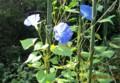 目に眩しい「アサガオ(朝顔)」の花。(28.8.9)