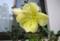 朝、開いたままの「オオマツヨイグサ(大待宵草)」の花。(28.8.11)(6:00)